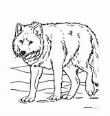Wolf Coloring Pages Animal sketch template