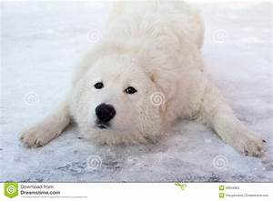 White Young Playing Sheepdog Portrait Stock Photography ...