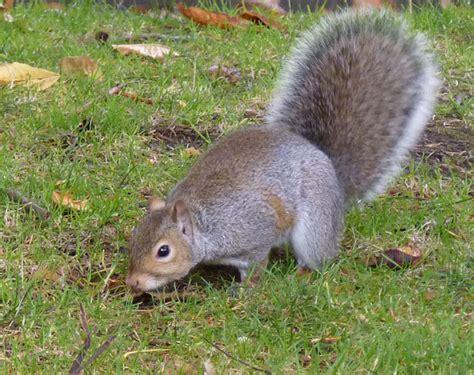 ecureuil pays de monts 28 images le charlot grandes oreilles mais cervelle t libre au pays