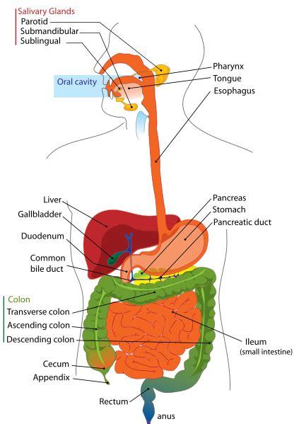 answer key label  digestive system