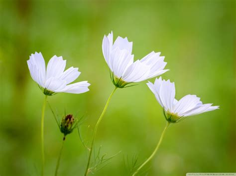 white cosmos flowers green blurry background  hd