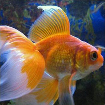 aquarium fishes names  pictures product specification