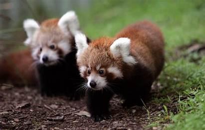 Panda Pandas Wallpapers Background Desktop Backgrounds Wallpapersafari