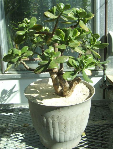 jade plant jade plant biology teaching greenhouse