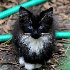 Long haired black kitten with gorgeous blue eyes, so ...
