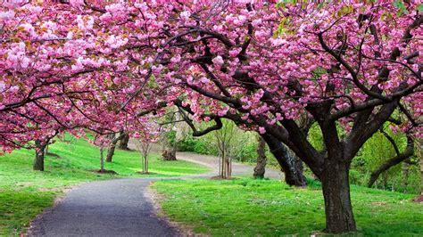 cherry blossom tree l cherry blossom tree care cherry tree pinterest tree