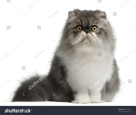 Persian Cat 6 Months Old Sitting Stock Photo 64219573
