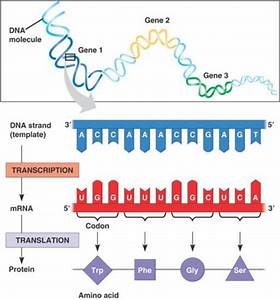 Protein Production  A Simple Summary Of Transcription And Translation