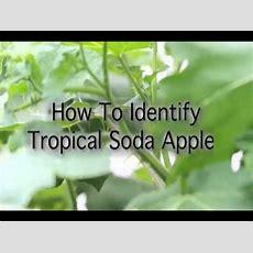 How To Identify Tropical Soda Apple Youtube