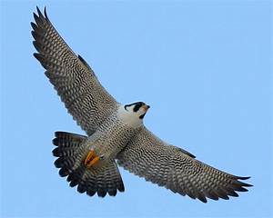 Peregrine Falcon Flying Drawing