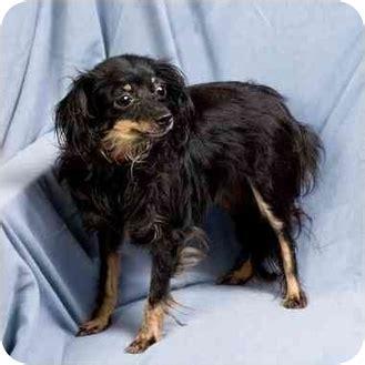daisy adopted dog anna il chihuahuadachshund mix