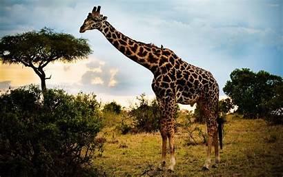Giraffe Wallpapers Desktop Background Giraffes Cave