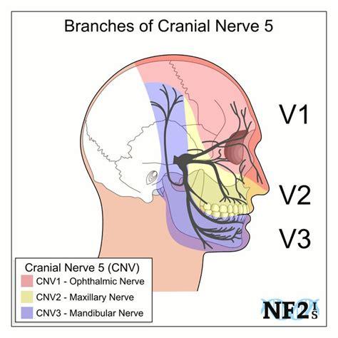 best 25 maxillary nerve ideas on dental