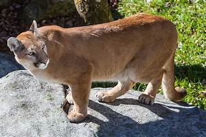 Grandfather Mountain Introduces New Cougars