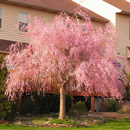 pink flowering cherry tree pink weeping cherry tree flowering cherry trees for sale