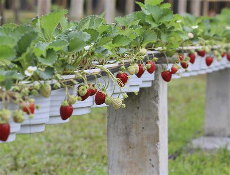 comment multiplier vos fraisiers femme actuelle