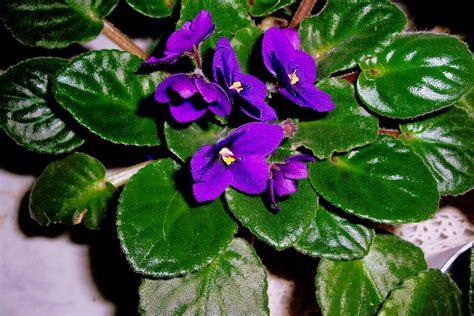 violet leaves turning white african violet plants flower gardening