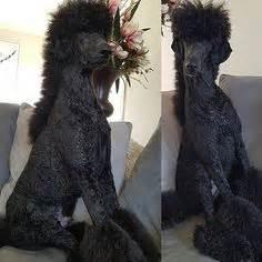 repinned beautiful poodle grooming poodle grooming