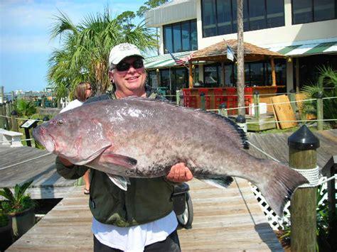 fishing fall grouper orange beach fish alabama amberjack frady troy captain