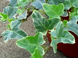 Kübelpflanzen Winterhart Schattig : hedera helix 39 william kennedy 39 efeu pflanzen versand f r ~ Michelbontemps.com Haus und Dekorationen