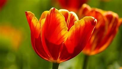 Tulips Wallpapers