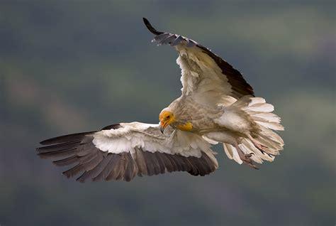 egyptian vulture facts habitat behavior diet pictures