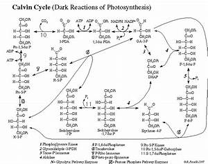 Diagram Calvin Cycle