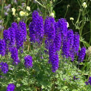 delphinium king arthur garden express