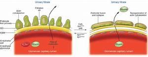 The Glomerular Filtration Barrier  Blood Enters The Glomerular