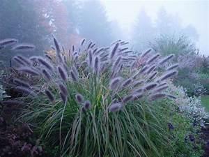 pennisetum moudry | Plants: Grasses etc. | Pinterest ...