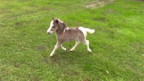 horse miniature foal filly