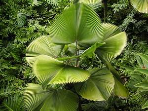 Rare Licuala grandis Ruffled Fan Palm LIVE Indoor Tree | eBay