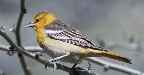 wild birds unlimited what a female baltimore oriole looks