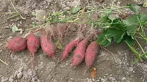 Patate Douce Plante : patate douce wikip dia ~ Dode.kayakingforconservation.com Idées de Décoration