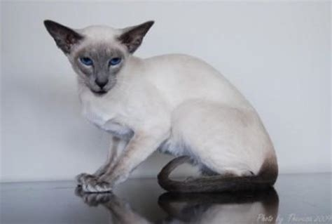 Siamese Cats  Breed Profile And Facts