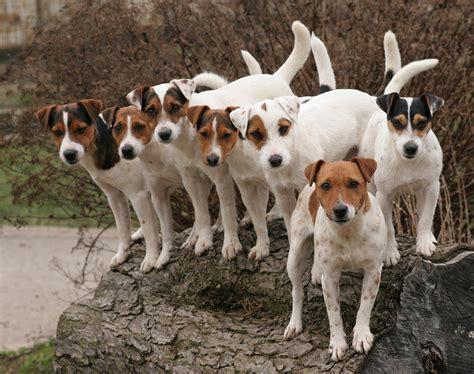 Jack Russell Terrier Erziehung Stubenrein