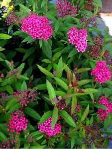 Petit Arbuste Fleuri : spir e japonaise 39 antony waterer 39 spiraea japonica le ~ Premium-room.com Idées de Décoration