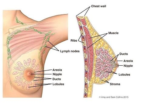 Milk Ducts In Breast Images Why Can Trans Breastfeed But Trans Can T Quora