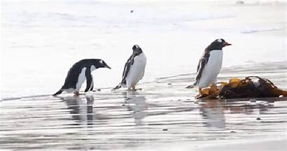 Penguin Penguins Cold Afraid Its Playing Push