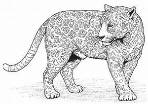 Dessin Jaguar Facile : coloriage panth re d 39 afrique dessin gratuit imprimer ~ Maxctalentgroup.com Avis de Voitures