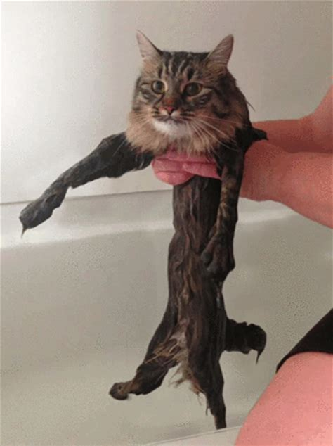 Wet Cat Meme - this new wet cat meme is dominating the internet 40 pics