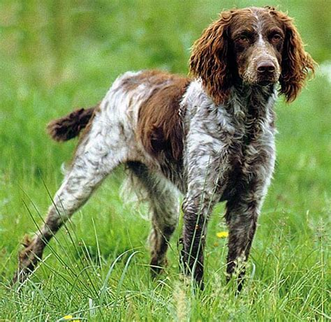 Haired Dogs That Shed The Most by Breeds That Shed The Most Hair