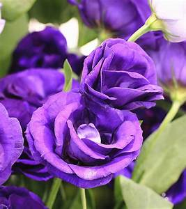 Pic Of Beautiful Purple Roses - impremedia.net