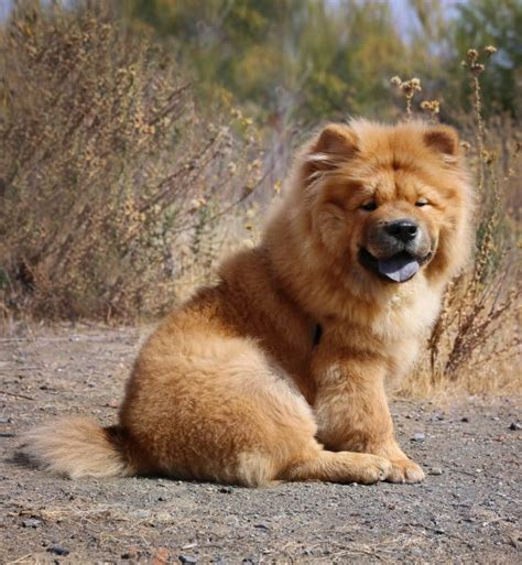 Puppies Chow Chow Animal