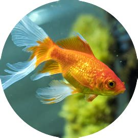 Comet Goldfish Fish