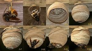 Essaim De Frelon : le frelon asiatique fredon bretagnefredon bretagne ~ Melissatoandfro.com Idées de Décoration