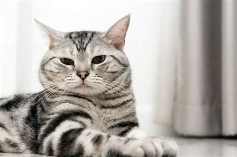 Shorthair Cat by 50 Lovely American Shorthair Cats Golfian