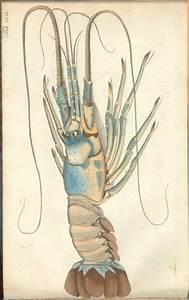 lobstah | ANIMALS | Pinterest | Natural history ...