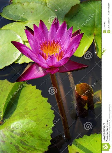 lotus garden thai 58 photos lotus thai beautiful fresh water for the garden stock