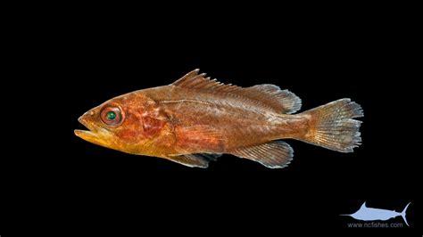 mycteroperca microlepis gag grouper community sargassum juvenile ncfishes